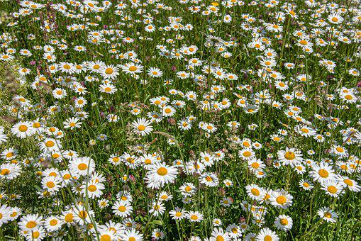Meadow, Daisies, Flower Meadow, Flowers, Green, White