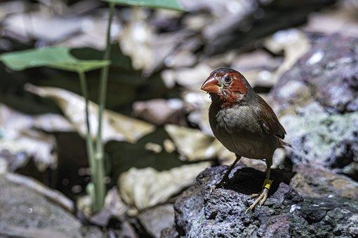 Bird, Crimson Finch, Finches, Wildlife