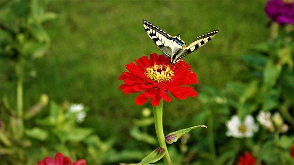 Macaon, Butterfly, Flower, Summer, Garden, Animal, Wing