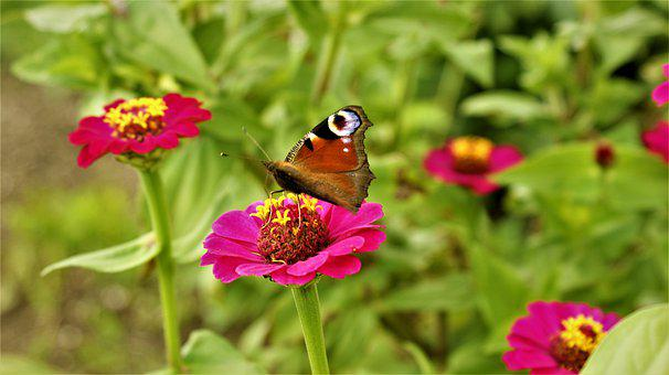 Zinnia, Butterfly, Peacock, Bug, Butterflies, Wings