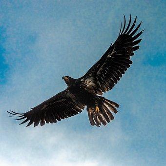 Eagle, Royal, Flight, Bird, Beak, Nature, Wings, Sky