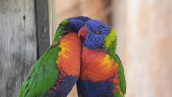 Lori, Lori Mountain, Parrot, Zoo, A Pair Of, Birds