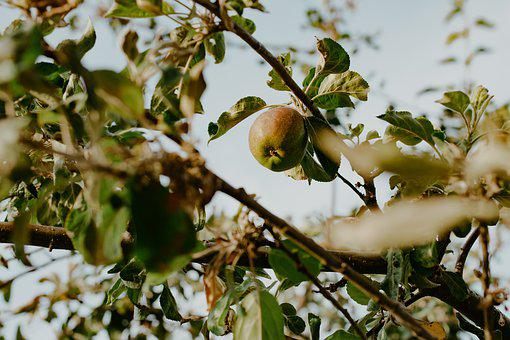 Apple, Tree, Fruit, Ripe, Branch, Red, Orchard, Spring