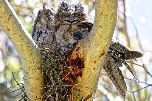 Birds, Breeding, Bird Nest, Tawny Frog Mouth, Nature