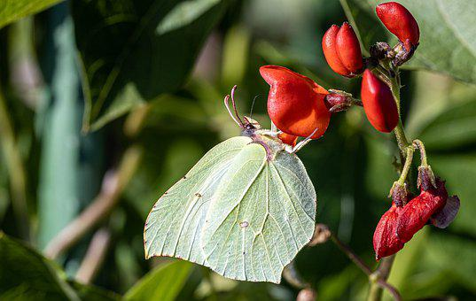 Butterfly, Fire Bean Blossom, Small Cabbage White Ling