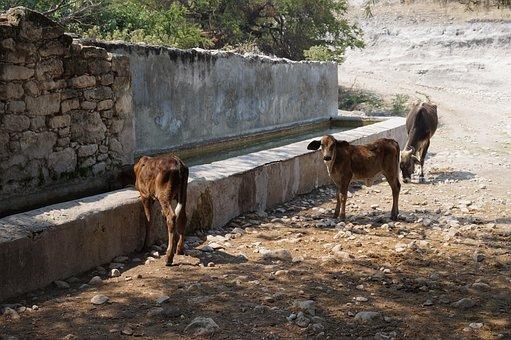 Cows, Animals, Bovine, Ruminant, Bulls, Ox, Calf, Toro