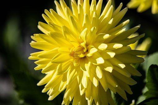 Dahlia, Flower, Plant, Blossom, Bloom, Ornamental Plant
