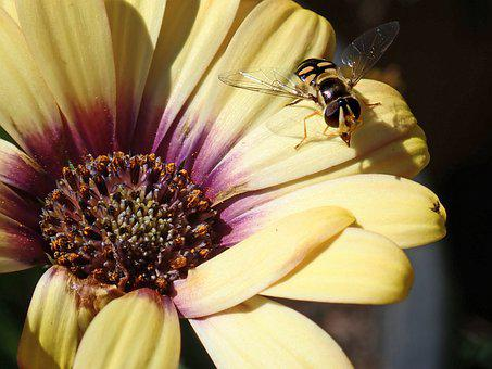 Hover Fly, Insect, Flower, Daisy, Pollen, Garden
