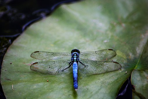Dragonfly, Top View, Colorful, On Lily Pad