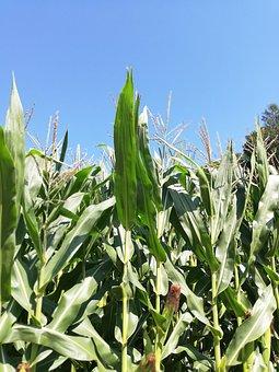Corn, Cornfield, Sky, Earth