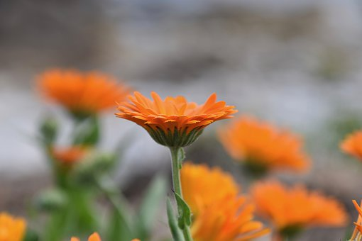 Flower, Petals, Flower Petals, Petals Orange Color