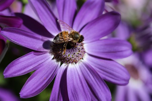 Bee, Foraging, Pollination, Cineraria, Flower, Purple