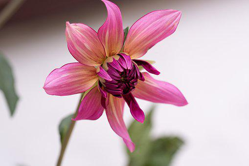 Plant, Flower, Beautiful, Tender, Pink, Garden