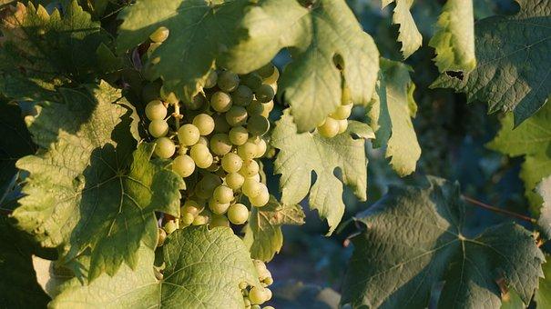 Grapes, Vines, Winegrowing, Fruit, Vine