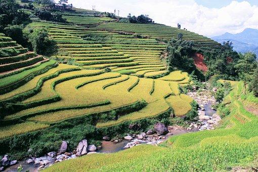 Nature, Vietnam, Rice, Landscape, Natural, Holiday