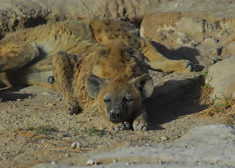 Hyena, Amboseli, Africa, Kenya, Wilderness, Nature