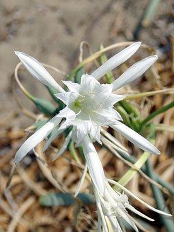 Hymenocalle, Lily-spider, Hymenocallis Littoralis