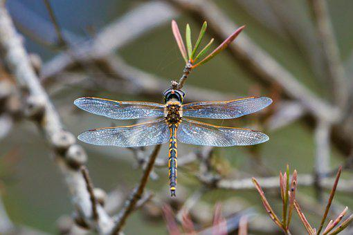 Dragonfly, Insect, Wings, Organic, Mechanical, Macro