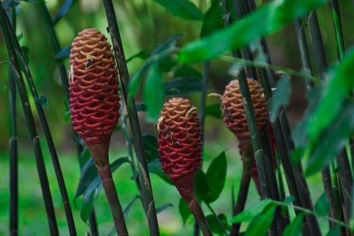 Cartago, Costa Rica, Ginger Beehive, Flower, Nature