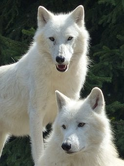 Wolf, White, Pack, Nature, Animal, Canine, Couple