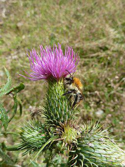 Hummel, Flower, Insect, Pollination, Purple, Thistle