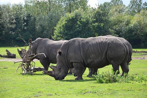 Rhino, Safari, Africa, Animal World, Mammal, Wild