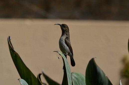 Malachite, Sunbird, Female, Nectarinia Famosa