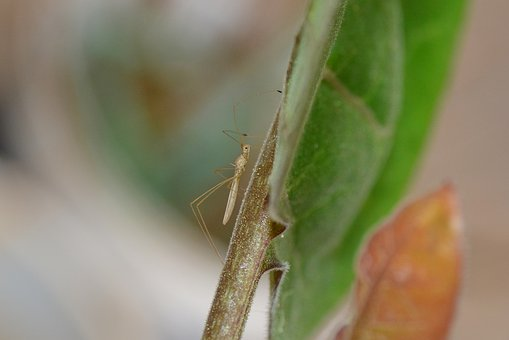 African, Thread Bug, Metacanthus, Insect, Animal