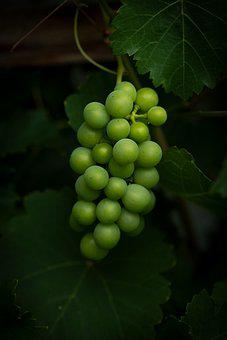 Grapes, Vine, Green, Wine, Winegrowing, Grapevine