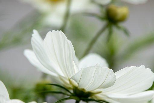 Cosmos, Flower, Plant, White, Green, Bokeh, Nature