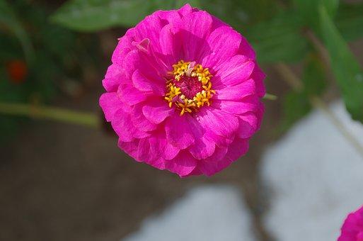 Zinnia, Elegans, Asteraceae, Composite, Pink, Petals