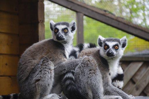 Lemur, Zoo, Animal World, Monkey, Cute, Sweet, äffchen