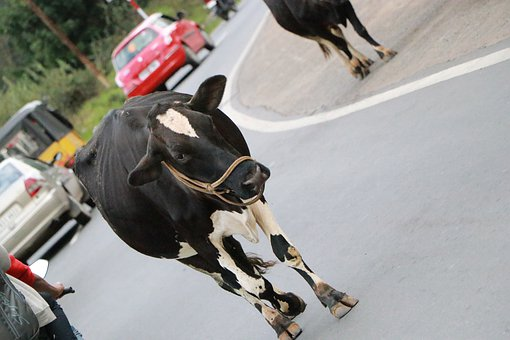 Animal, Cow, Nature, Traffic, Black, White, Countryside