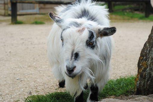 Goat, Farm, Zoo, Animal, Livestock, Mammal, Horns, Kid