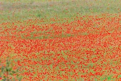 Field Of Poppies, Poppy, Red, Bloom, Flowers, Field