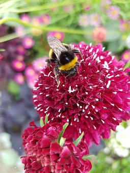 Hummel, Insect, Pollination, Blossom, Bloom, Flower