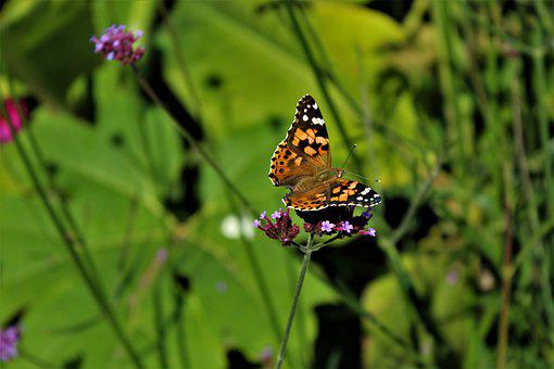Painted Lady, Butterfly, Nature, Insect, Wings