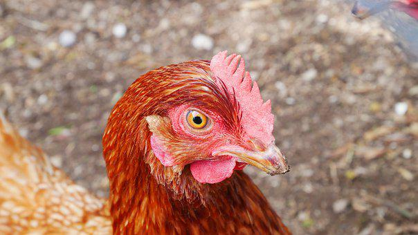 Chicken, Close Up, Poultry, Bird, Animal, Bill, Head