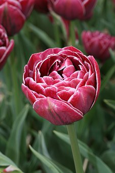 Tulip, Spring, Tulips, Flowers, Garden, Red, Colorful