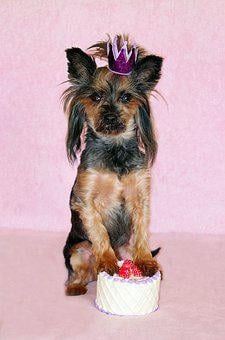 Yorkie, Dog, Cake, Birthday, Princess, Crown, Beauty