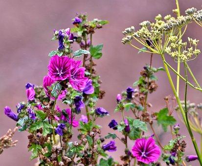 Mallow, Screen Flower, Nature, Flora, Petals, Pink