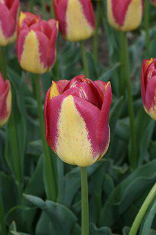 Tulip, Yellow, Red, Spring, Flowers, Tulips, Colorful