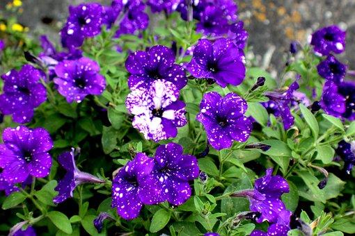 Flowers, Violets, Nature, Plants, Garden, Perfume