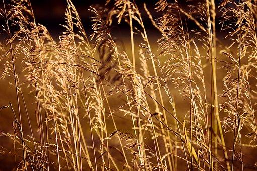 Grasses, Grass, Spike, Blades Of Grass, Golden
