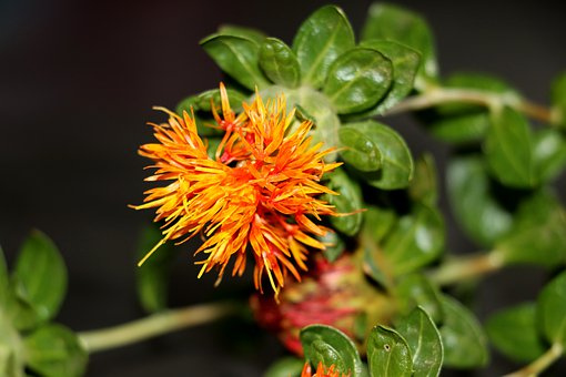 Safflower, Grassland Plants, Field Flower, Nature