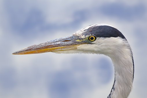 Grey Heron, Bird, Eastern, Heron, Eye