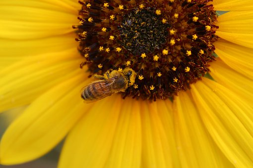 Sunflower, Honey Bee, Yellow, Nature, Insect, Flower