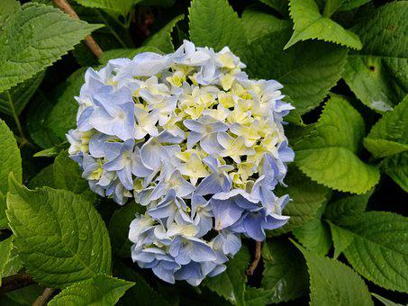 Beautiful, Blue, Hydrangea, Pruning Works, Shrub