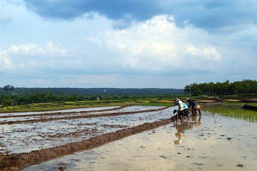 Farm, Farmer, Rice Field, Indonesia, Agriculture