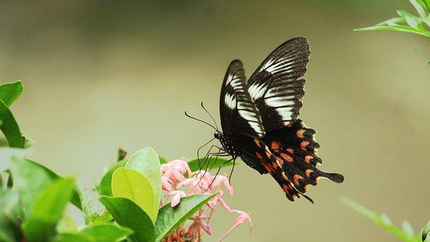 Kerala, India, Common Mormon, Papilio Polytes, Papilio